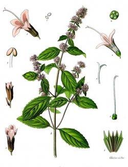 mentha_c397_piperita_-_kc3b6hlere28093s_medizinal-pflanzen-0951