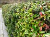 6040-berberis-julianae-aef12arborboy-blogspot-com1