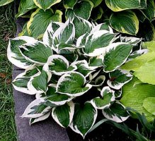 hosta20patriot1